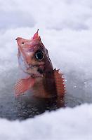 Amérique/Amérique du Nord/Canada/Quebec/Fjord du Saguenay : Pêche blanche - Sébaste