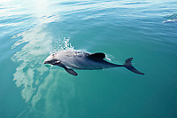 Hector's dolphin, Cephalorhynchus hectori, blowing, Kaikoura, New Zealand, Pacific Ocean