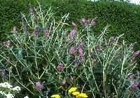 Buddleia fallowiana butterfly bush in bloom showing entire plant in garden