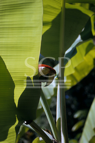 Brazil. Scarlet macaw (Ara macao) peering round a banana leaf in bright sunlight.