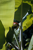 Brazil. Scarlet macaw (Ara macao) peering round a banana leaf in bright sunlight.