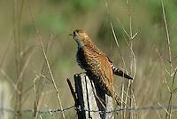 Kuckuck, braun gefärbtes Weibchen, Cuculus canorus, Cucullus canorus, cuckoo