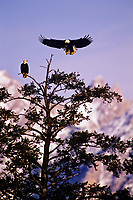 Bald Eagles, Northern Rocky Mountains, Spring.