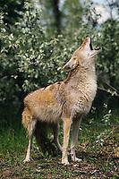 Coyote howling in spring.  Western U.S.