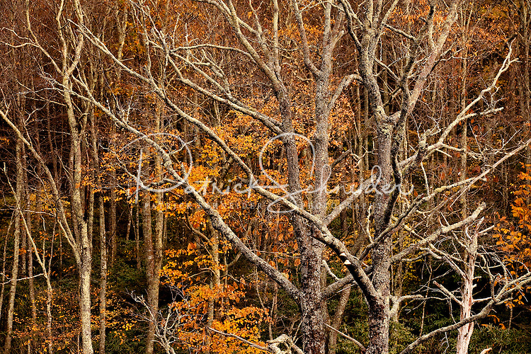 Weathered trees along the Blue Ridge Parkway in North Carolina.