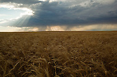 Frezno, Montana<br /> July 20, 2015<br /> <br /> Wheat fields of northern Montana on the outskirts of Havre a city in Hill County.