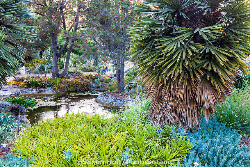 Bancroft Garden with Trithrinax campestris or caranday palm tree and Dyckia brevifolia as bromeliad succulent groundcover by pond