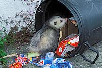 VIRGINIA OPOSSUM raiding home garbage..British Columbia, Canada..Summer. (Didelphis virginiana)...