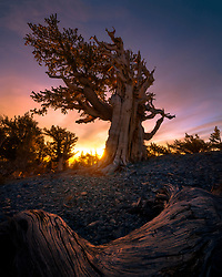 The patriarch of a small bristlecone grove in Nevada's Great Basin, photographed as the sun rises over the ridge of a small valley at 12,000 feet elevation.