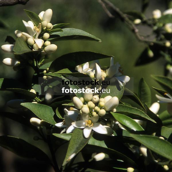 Orange blossoms<br /> <br /> Flores de naranja<br /> <br /> Orangenblüten<br /> <br /> 3455 x 3455 px (cropped)<br /> 150 dpi: 58,39 x 59,39 cm<br /> 300 dpi: 29,19 x 29,19 cm<br /> Original: 35mm slide transparency