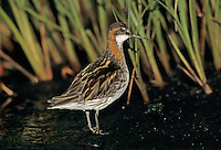 Red-necked Phalarope, Phalaropus lobatus, male, Ekkeroy, Norway, June 2001