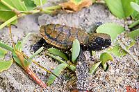 Loggerhead sea turtle, Caretta caretta, hatchling, Florida
