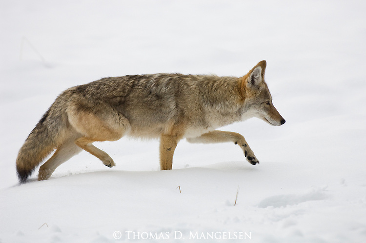 A coyote walks through the snow along the Yellowstone River in Yellowstone National Park, Wyoming.