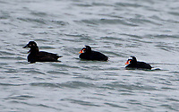 Two pairs of surf scoters in breeding plumage