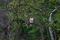 An adult red-tailed hawk sit in a tree near its nest in Reserve Township on Thursday May 28, 2020 in Pittsburgh, Pennsylvania. (Photo by Jared Wickerham/Pittsburgh City Paper)