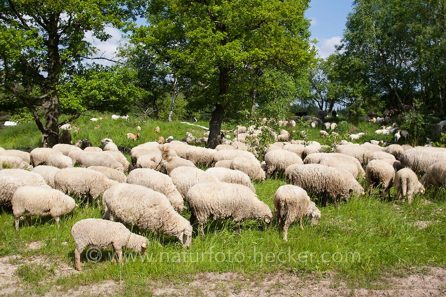 Schaf, Schafe, Hausschaf, Hausschafe, Merino-Schaf, Merinoschaf, Merino, Merino-Wollschaf, Wollschaf, Schafherde weidet auf Wiese unter Eichen, Sheep, domestic sheep, merino sheep, merino, merino, merino wool sheep, woolsheep, wool-sheep, flock of sheep grazing on meadow under oaks