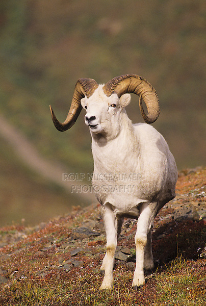 Dall Sheep (Ovis dalli), ram, Denali National Park, Alaska, USA