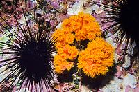 orange cup coral, Tubastraea coccinea and crowned sea urchin, Centrostephanus coronatus, Cocos Island, National Park, Natural World Heritage Site, Costa Rica, Pacific Ocean