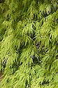 Acer palmatum 'Dissectum', late April.