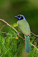 Adult Green Jay (Cyanocorax yncas) perched in a mesquite. Starr County, Texas. March.
