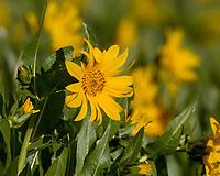 Balsam root or Arrowleaf Balsamroot (Balsamorhiza sagittata).  Idaho.  June.