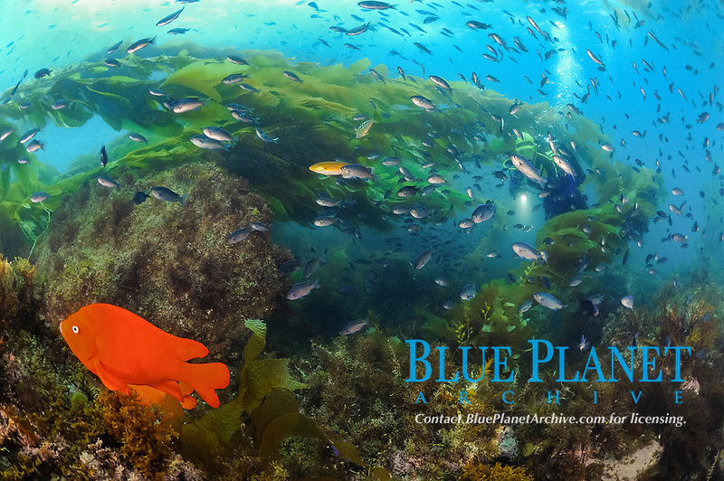 Scuba diver swims with blacksmith, Chromis punctipinnis, garibaldi, Hypsypops rubicundus, in giant kelp, Macrocystis pyrifera, with current, Catalina Island, CA, Pacific Ocean
