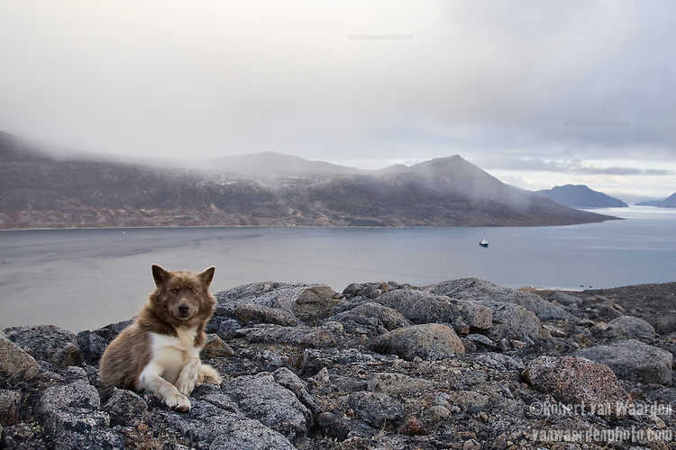 A Canadian sled dog rests on a rock near Qikiqtarjuaq in the Canadian North. In the distance is a ship that carried a group of international students on an expedition into the Arctic to teach them about Climate Change and raise awareness about the issue.  Cape Farewell Youth Expedition 08(©Robert vanWaarden ALL RIGHTS RESERVED)