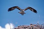 Osprey landing on nest.
