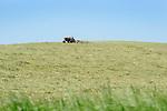 Tractor raking hay on hillside.