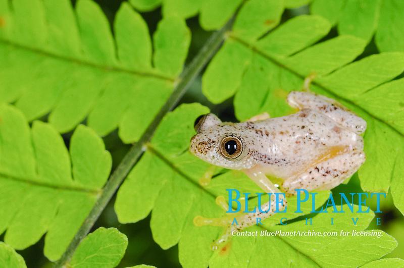 Liberian Banana Frog (Afrixalus laevis), adult, sitting on leaves in montane rainforest, Nyungwe Forest National Park, Rwanda, Africa
