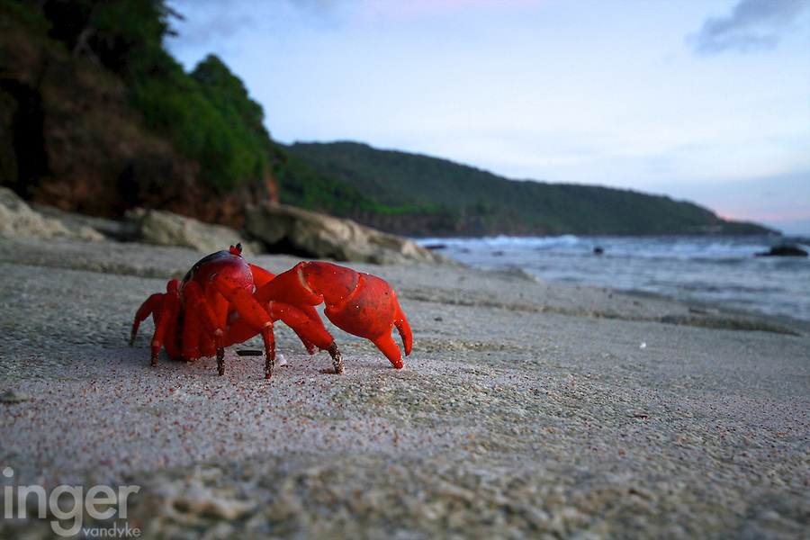 Red Crab on Lily Beach at Sunrise, Christmas Island, Indian Ocean