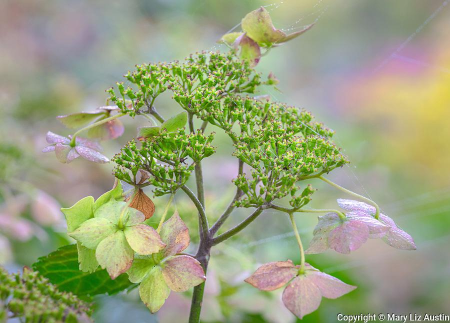 Vashon-Maury Island, WA: Close up of hydrangea serrata blossom 'Blue Deckle' in fall