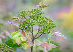 Vashon-Maury Island, WA: Close up of hydrangea serrata blossom 'Blue Deckle' in fall