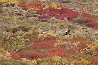 Marsh hawk or Northern Harrier flies over the autumn colored tundra in Sable Pass of Denali National Park, Interior, Alaska.