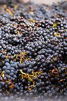 Harvested grapes. Merlot. Chateau Grand Corbin Despagne, Saint Emilion Bordeaux France