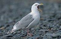 Glaucous-winged Gull, Larus glaucescens, adult yawning, Homer, Alaska, USA, March 2000