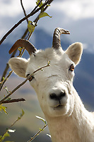 Dall sheep ewe feeds on willow leaves, Denali National Park, Alaska.