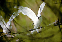 White Terns (manu o ku), Kure Atoll, Northwestern Hawaiian Islands