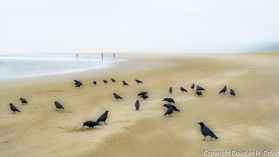 Crows feed in stark image on the beach at Pacific Beach State Park, Pacific Beach, Washington, on the Olympic Peninsula