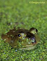 FR01-006b  Bullfrog - adult in duckweed pond - Lithobates catesbeiana, formerly Rana catesbeiana