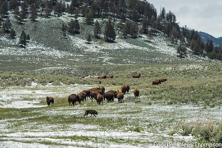 Wolf and Buffalo, Yellowstone National Park