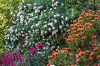 Rose, Rosa 'Sally Holmes' flowering on hillside with orange flowering Leucospermum cordifolium (Pincushion Protea), Diana Magor Garden
