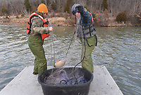 Aaron Freeman (left) and Kody Rudolph haul in a large carp caught in a gill net.<br />(NWA Democrat-Gazette/Flip Putthoff)
