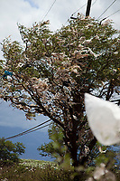 A tree filled with plastic bags, down wind from a landfill site on the island of Maui, Hawaii. A state wide ban on plastic bags went into effect in January 2011.