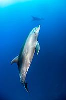common bottlenose dolphin, Tursiops truncatus, giant oceanic manta ray in background, Socorro Island, Revillagigedo Islands, Mexico, Pacific Ocean