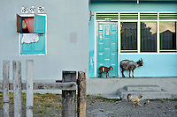 Rural scene in the sleepy capital of Ceram Island, Masohi. Goats and chickens outside a house. /Felix Features