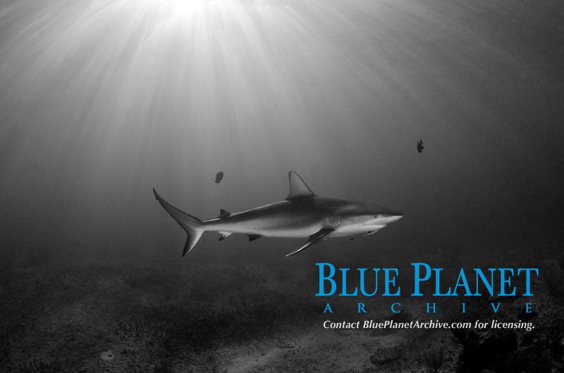 Caribbean Reef Shark, Carcharhinus perezii, Triangle Rocks, Bimini Island, Bahamas, Caribbean Sea.