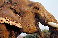 Asian elephant or Indian elephant (Elephas maximus), India.