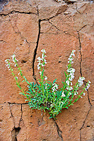 Hot Rock Penstemon (Penstemon deustus) in rock cliff. Hell's Canyon National Recreational Area, Oregon