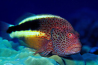 A Blackside Hawkfish (Paracirrhites forsteri)perched on Lobe Coral. Hawaiian name is pilikoa.